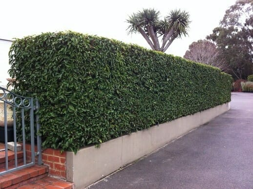 Portuguese Laurel Hedge