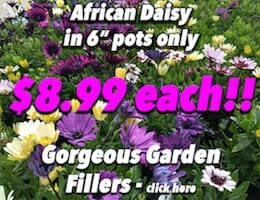 African Daisy Button Pic copy