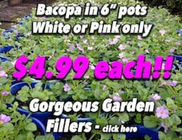 Bacopa white or pink Button Pic copy