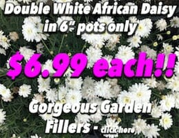 Double White African Daisy Button Pic copy