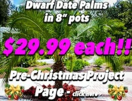 Dwarf Date Palm XMAS Button Pic copy