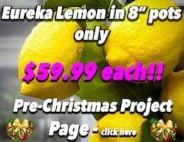 Eureka Lemon XMAS Button Pic copy