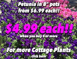 Petunia Button Pic copy