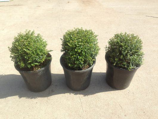 Box Hedging - BoxOz Topiary - Hello Hello Plants
