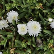 carpobrotus-rossii_native-pigface_white-hot-3