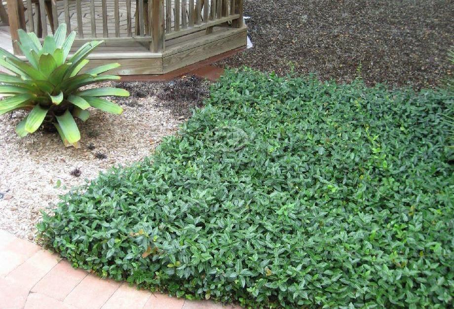 Indoor Plants Jasmine