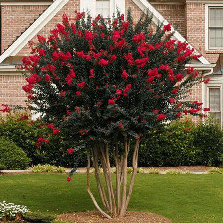 Crepe Myrtle Quot Diamonds In The Dark Quot Crimson 7 Quot Pot Hello