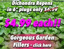 Dichondra Repens 6 Button Pic copy