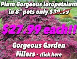 Plum Gorgeous loropetalum Button Pic copy