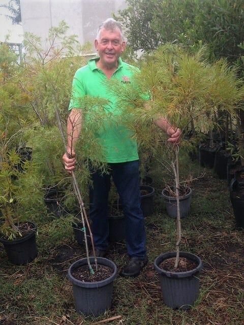 Acacia Lime Magik 12 Pot Economy Grade Hello Hello Plants