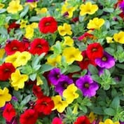 Calibrachoa Million Bells