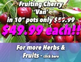Fruiting Cherry Van 10inch