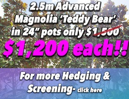 Magnolia Teddy Bear