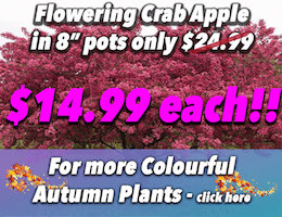flowering-crab-apple-8inch
