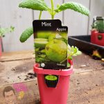 "Apple Mint 3"" Pot"