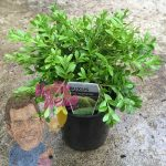 Buxus Microphylla microphylla korean box 6inch pot In Store @ Hello Hello Plants