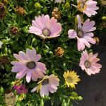 "African Daisy Light Pink 6"" Pot @ Hello Hello Plants"