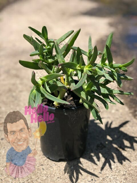 "Carpbrotus Pig Face 6"" pot In Store @ Hello Hello Plants"