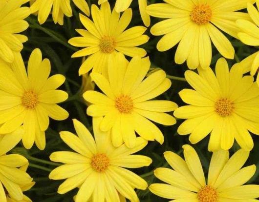 "African Daisy ""Voltage Yellow"""