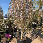 "Weeping Cherry Snow Fountain 24"" Pot"