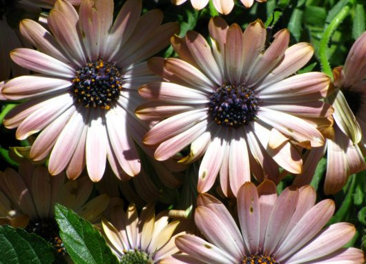 "African Daisy ""Pink Sand"""