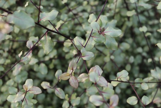 Pittosporum Silver Sheen Foliage
