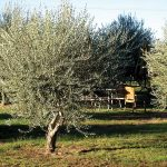 Olive Tree Spanish Queen