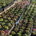"Assorted Colour Saxifraga 6"" Pot @ Hello Hello Plants"