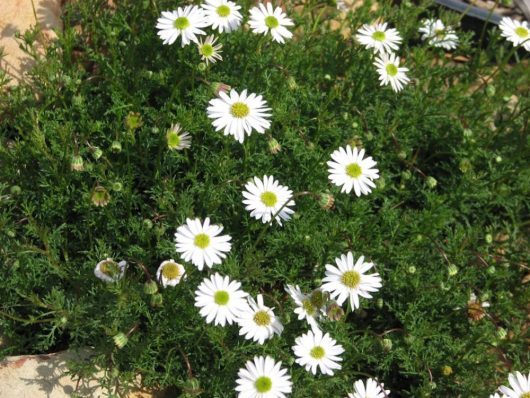 Cut-Leaf Daisy White