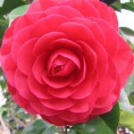 "Camellia ""Red Red Rose"""