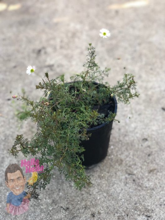 "Cut-Leaf Daisy White 6"" Pot @ Hello Hello Plants"