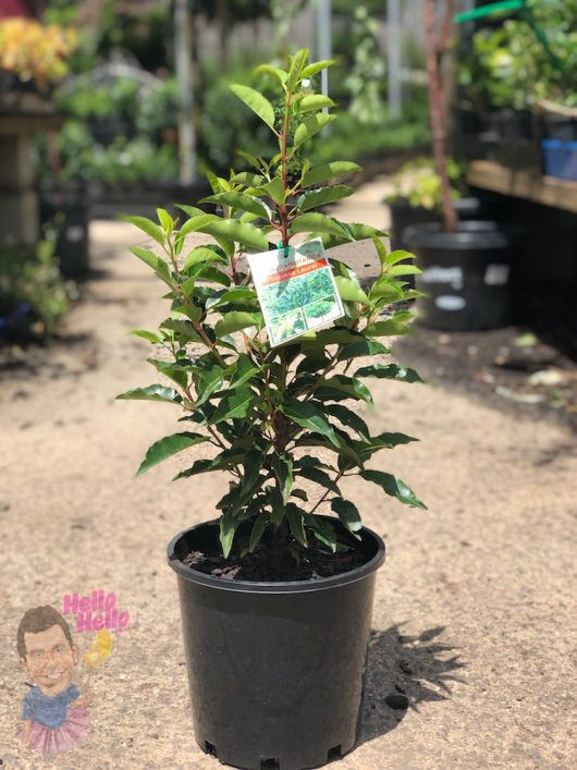 "Portugal Laurel 7"" Pot"