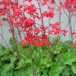 Firefly Coral Bells