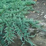 "Juniperus ""Creeping Juniper"""