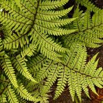 "Athyrium ""Eared Lady Fern"""