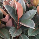"Ficus Burgandy ""Rubber Fig"""
