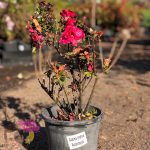 "Azalea ""Ambrosius"" Rosey Red 7"" Pot (2nds Grade/Imperfect)"