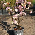 "Azalea ""Brides Bouquet"" White Pink 7"" Pot (2nds Grade/Imperfect)"
