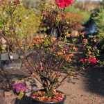 "Azalea ""Red Wings"" Red Pink 10"" Pot (2nds Grade/Imperfect)"