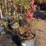 "Azalea ""Splendens"" Peachy Pink 10"" Pot (2nds Grade/Imperfect)"