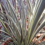 "Cordyline ""Electric Flash"" 8"" Pot"