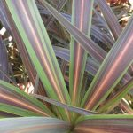 "Cordyline ""Electric Star"""
