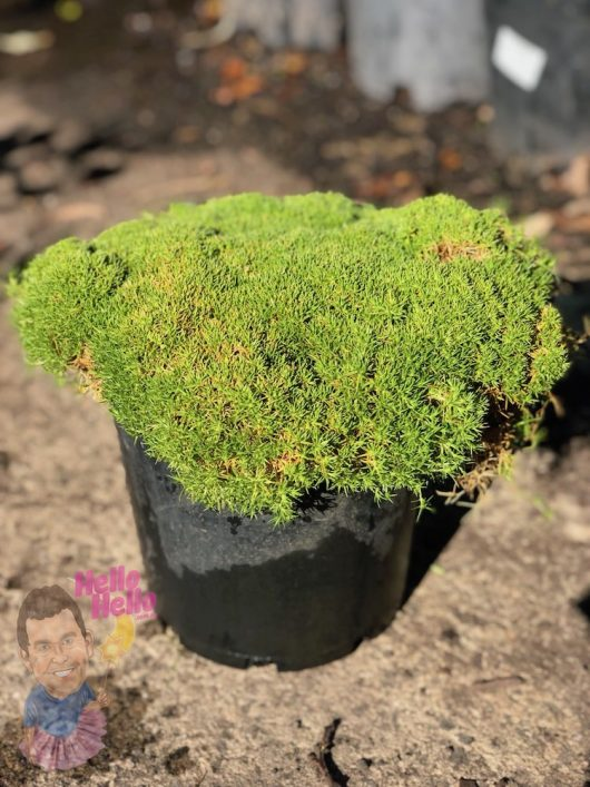 "Scleranthus ""Lime Lava"" 8"" Pot @ Hello Hello Plants"