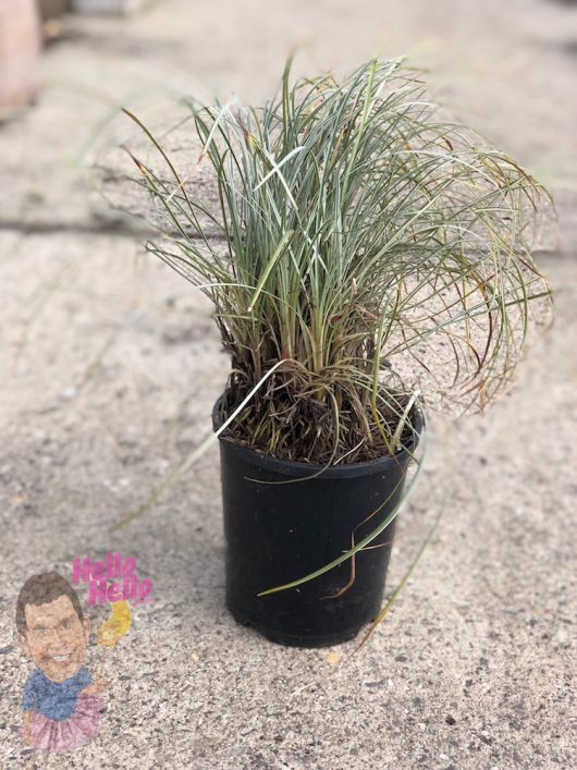 "Dwarf Mondo Grass ""Silveredge"" 6"" Pot (2nds Grade/Imperfect)"
