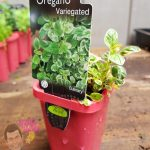"Variegated Oregano 3"" Pot"