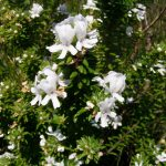 White Flowering Rosemary