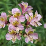 Assorted Peruvian Lily Plants