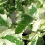 Variegated Applemint