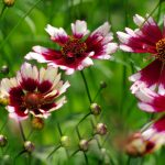 "Coreopsis ""Fruit Punch"""