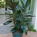 "Ficus ""Rubber Fig"""